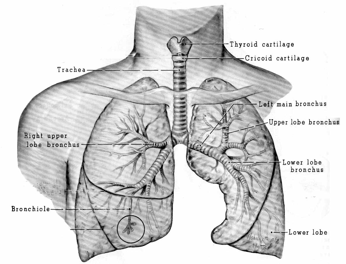 2014  Tongue  Throat  Lungs